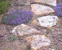 thyme blooms among patio stones